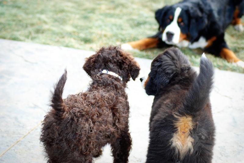 Barbet Puppy Photos Devlin American Barbet Blog