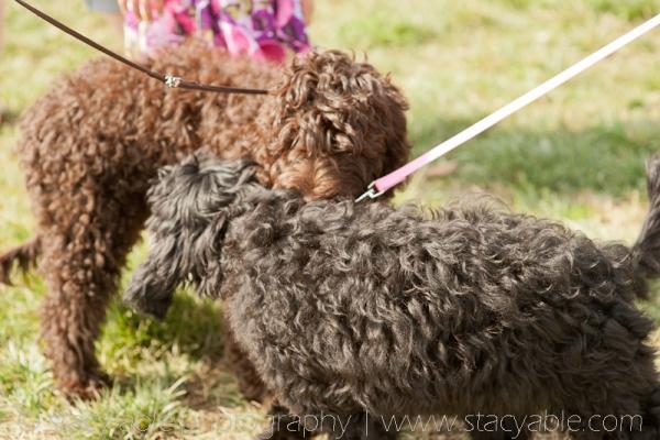Barbet Corbin and Carolina at the Louisville kentucky dog show