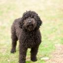 Dyna Barbet Dog Photo 1