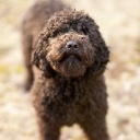 Dyna Barbet Dog Photo 4