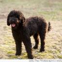 Dyna Barbet Dog Photo 6