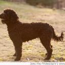 Dyna Barbet Dog Photo 7