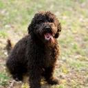 Dyna Barbet Dog Photo 9