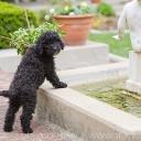 barbet puppy thunus - barbet dog photos