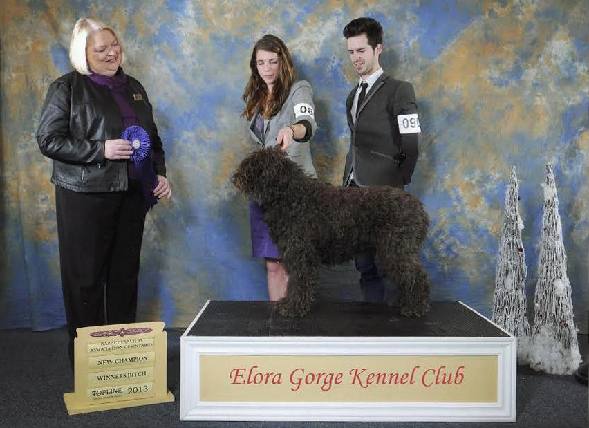 barbet dog cleo ckc championship photo