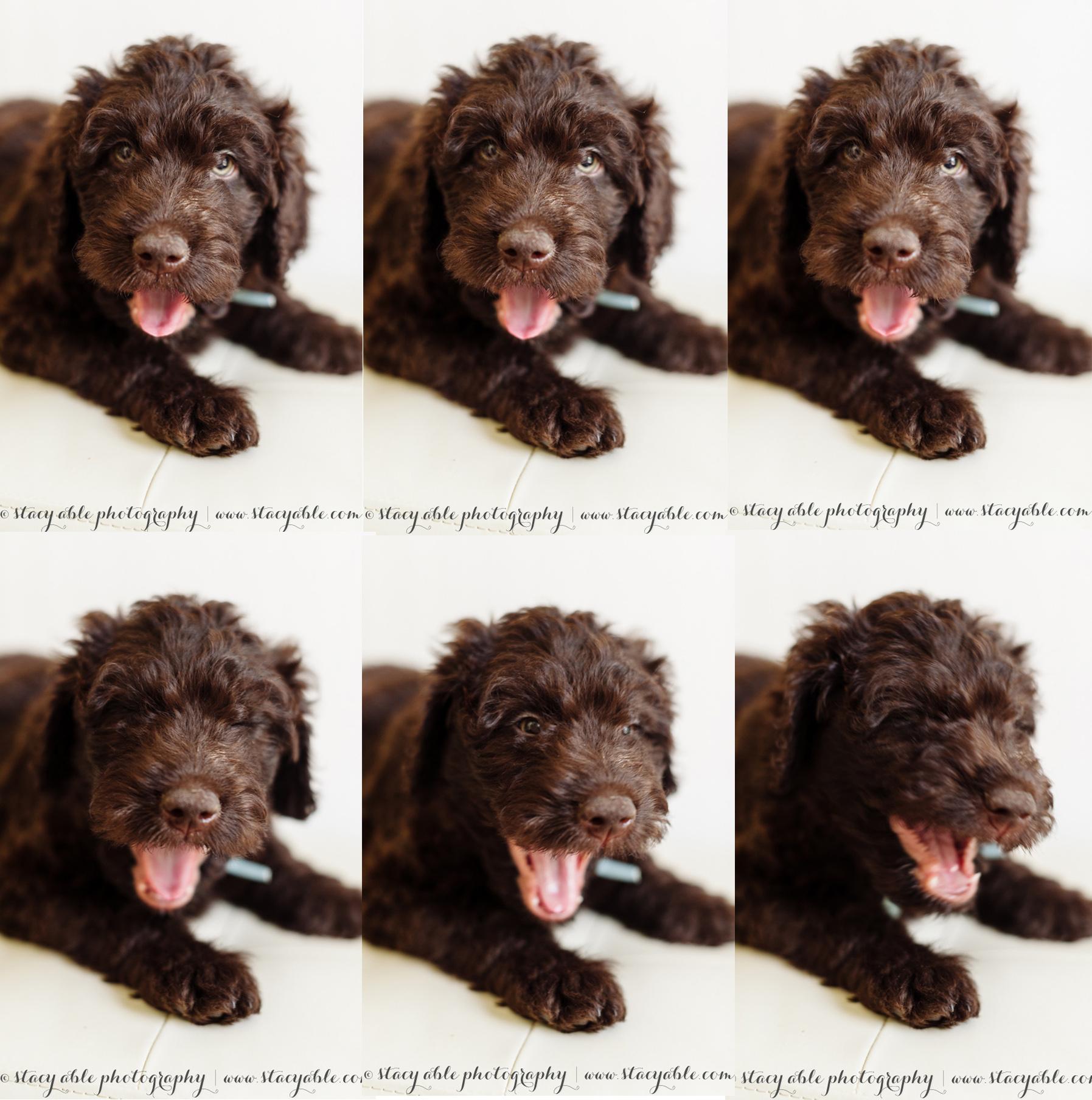 puppy yawn-- finn