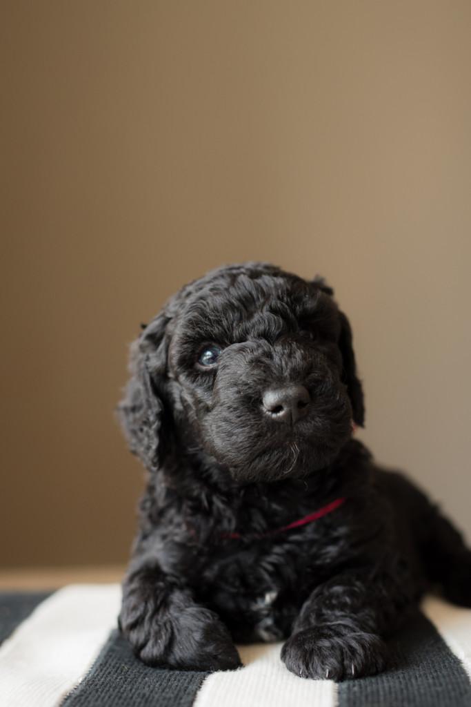 barbet puppy photo