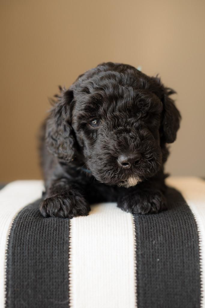 barbet dog puppy