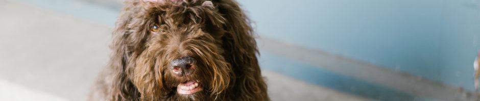barbet french water dog cinna