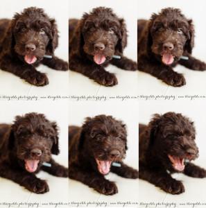 barbet french water dog puppy yawn